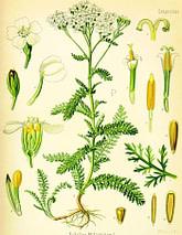 тысячелистник обыкновенный, ботаническое описание