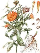 календула лекарственная ботаническое описание