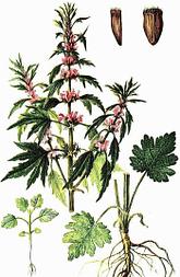 пустырник обыкновенный ботаническое описание