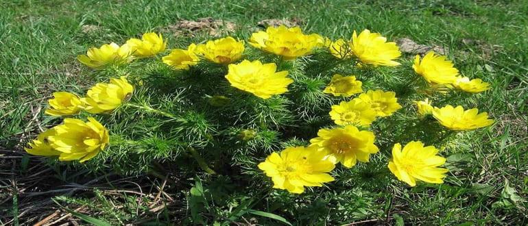 Адонис весенний: описание, полезные свойства